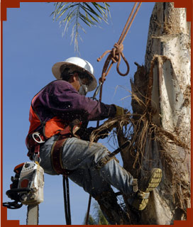 A worker Trimming the Trees